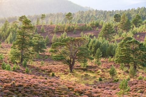 Rotchiemurchus forest